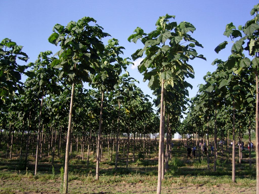 2-letnia-plantacja-oxytree
